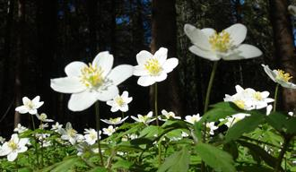 Blooming of the anemones